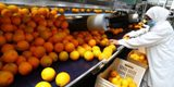egypte-exportateur-mondial-oranges-1-